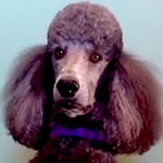 poodle_featured